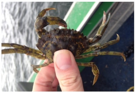 Invasive Green Crab – CBC Report