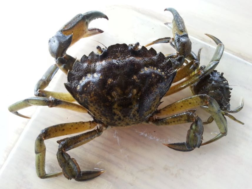 Green-Crab-shediac-bay-2