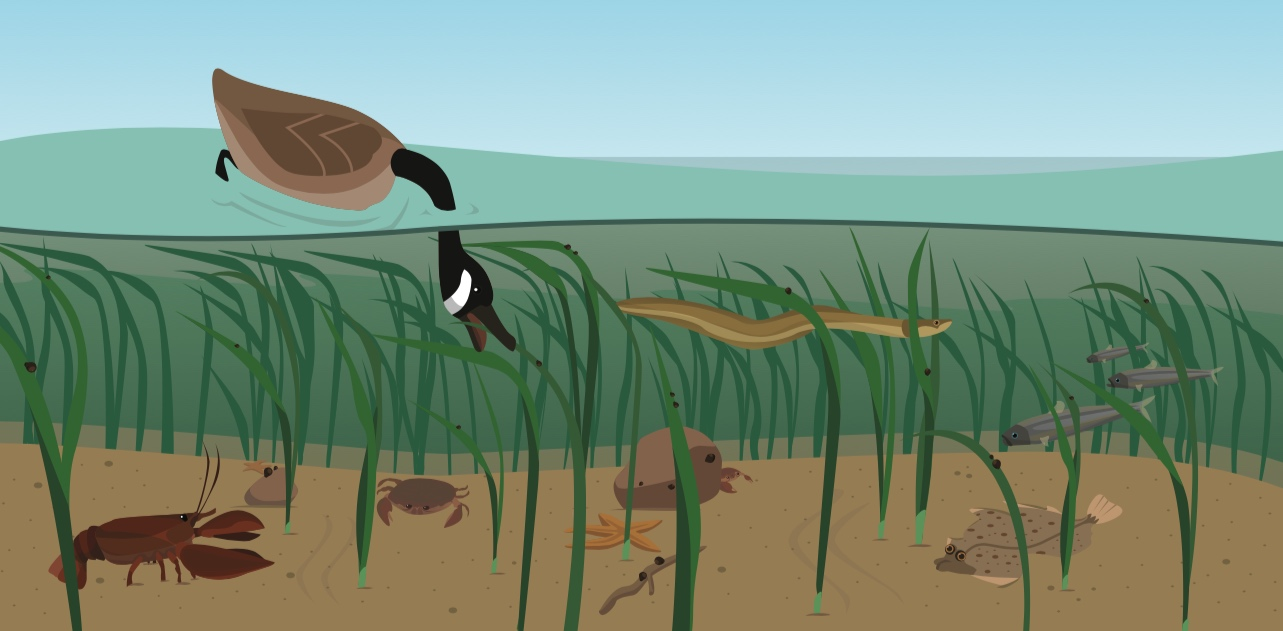 Illustration-habitat-eelgrass-zostere